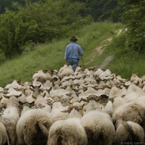 Follow The Leader (sheaps)