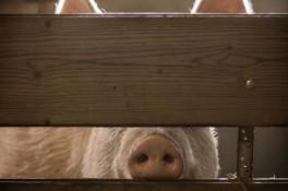 Oink pig