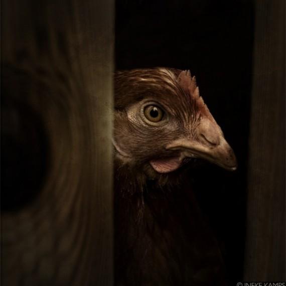 Rembrandt Chicken