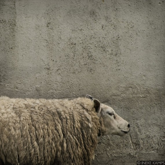 Sheep Against Concrete